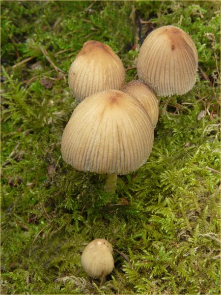 Caprinellus micaceus 23rd Ingleby Greenhowe