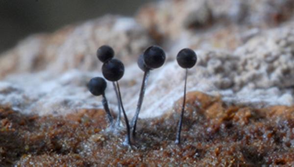 Comatricha nigra-2
