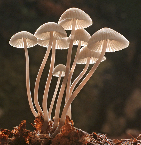 Mycena at Dawn