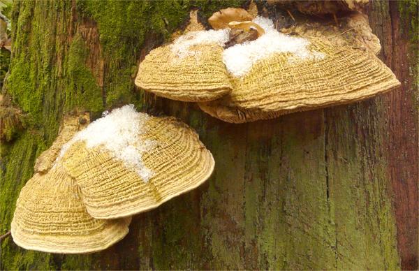 Oak Mazegill Daedalea quercina  24-02-13 Glazdale