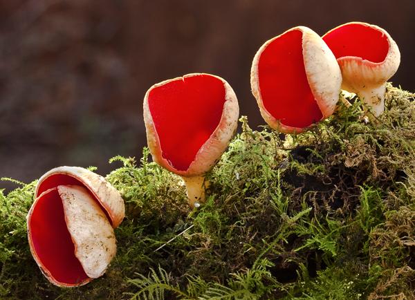Scarlet Elf Cap 24-02-13 East Arncliffe Woods