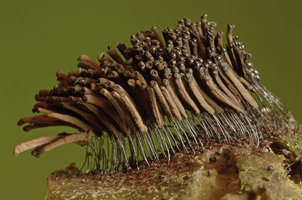 Stemonitis fusca