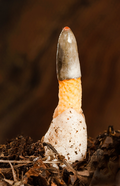 Stink Horn young 07-10-13 jpg