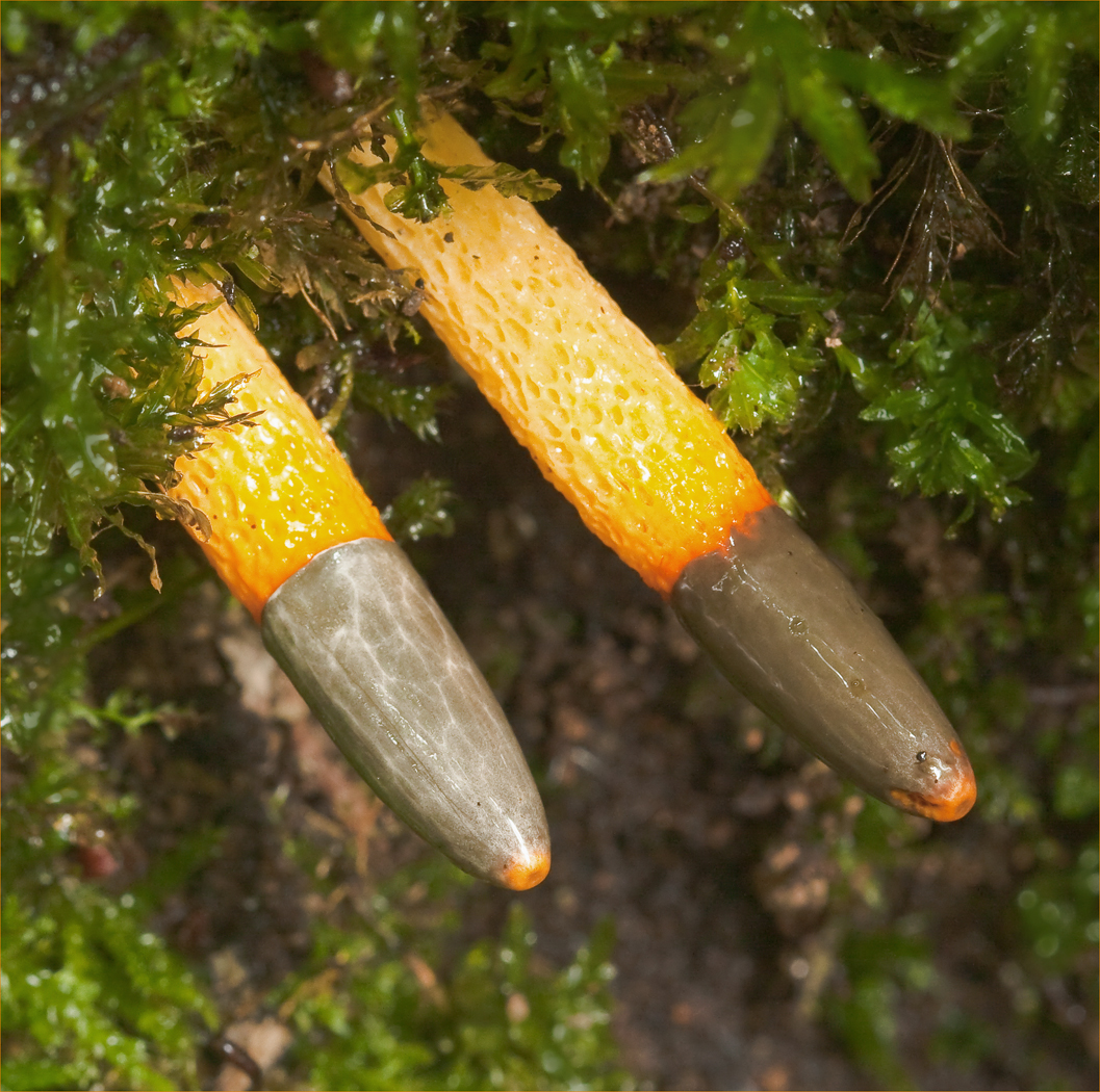 Dog Stinkhorn - Mutinus caninus