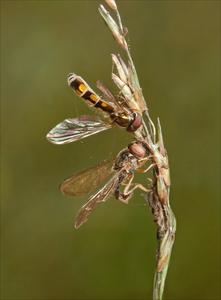 Entomophthora muscae Kielder
