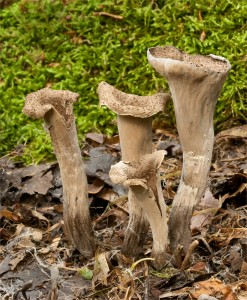 Horn Of plenty Craterellus cornucopioides 13-09-14 Tees bank