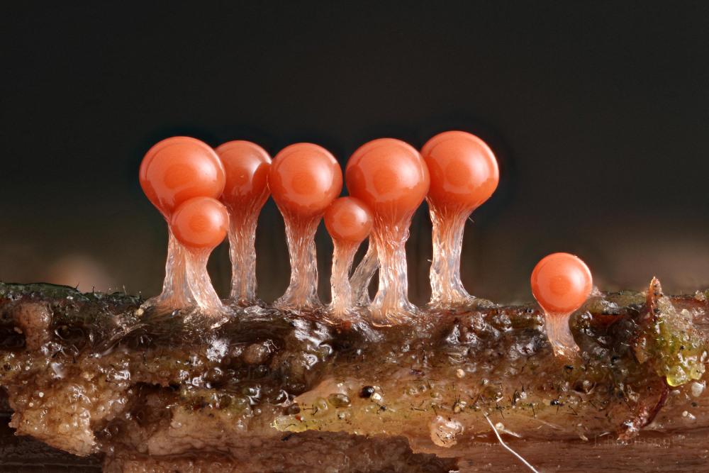 Trichia decipiens var olivaceous
