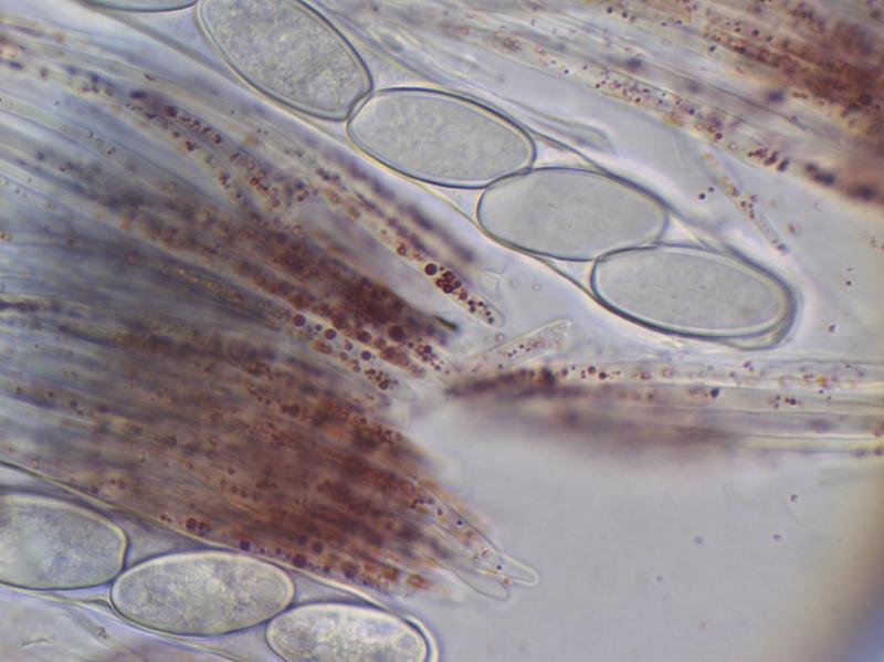 Sarcocypha austriaca (2) x1000_800