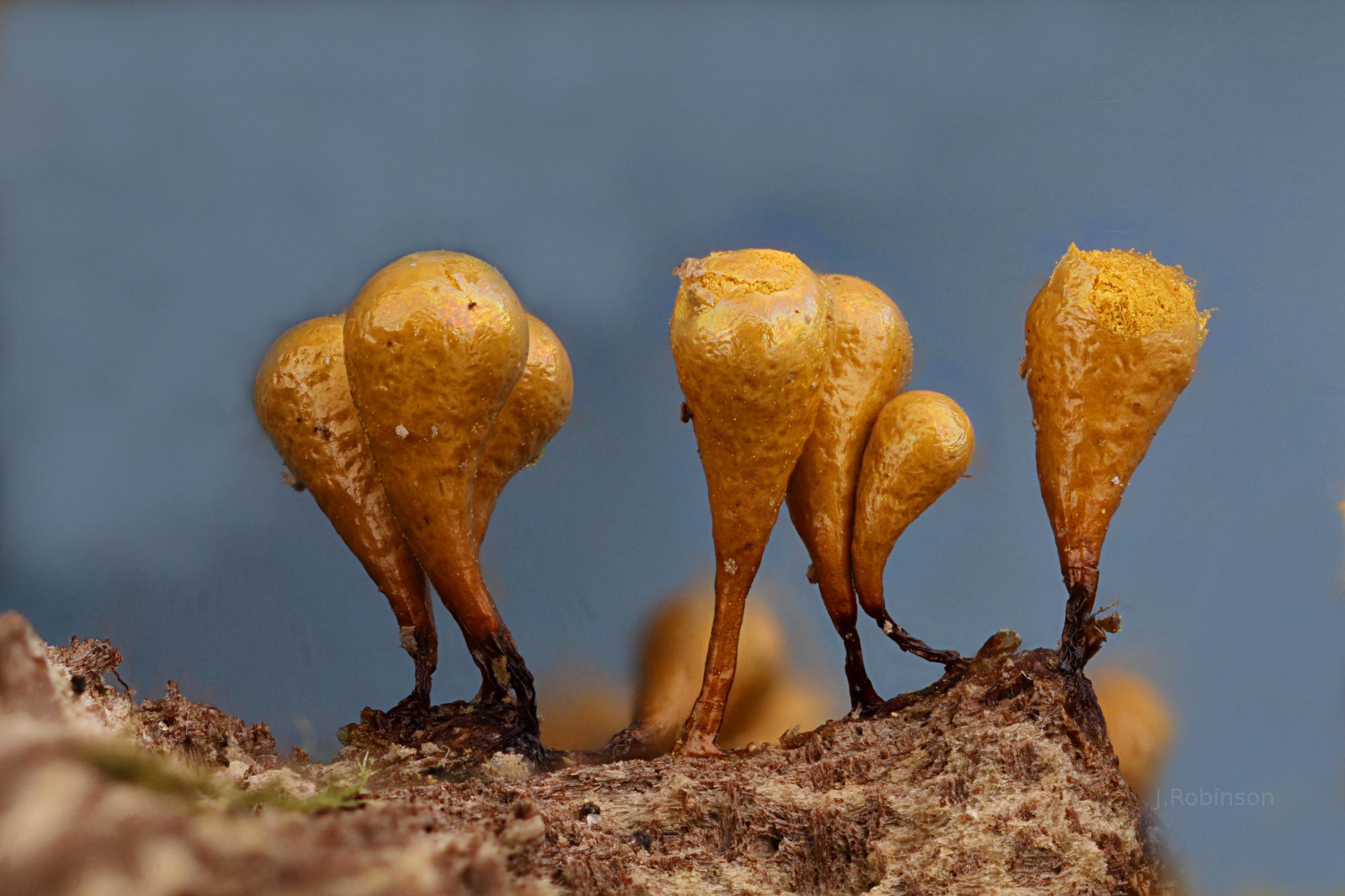Hemitrichia clavata crop2000