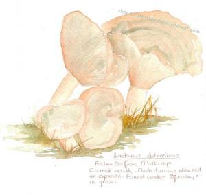 Lactarius-deterrimus
