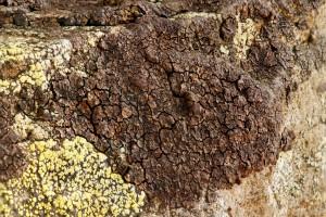 Acarospora fuscata - Swaledale