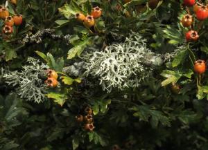 Evernia prunastri-Cotherstone