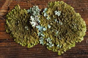 Melanelixia subaurifera-Derwent Country Park