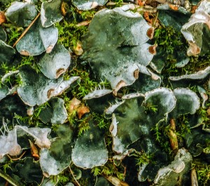 Peltigera didactyla - Low Force
