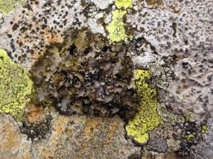 Umbilicaria cylindrica -  Holwick Quarry