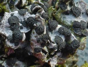 Umbilicaria cylindrica apothecia