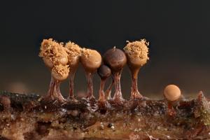 Trichia decipiens var olivacea