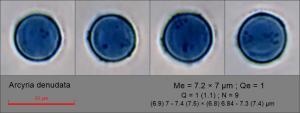 Arcyria denudata spore lactic blue