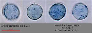 Arcyria pomiformis spores lactic blue