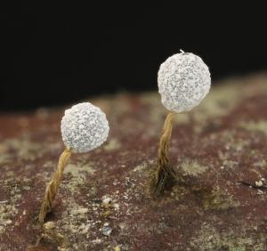 Badhamia melanospora