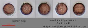 Craterium aureonucleatum spore in water136.pixi