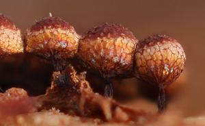 Cribraria argillacea
