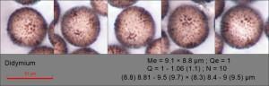 Didymium squamulosum var ilicis spores