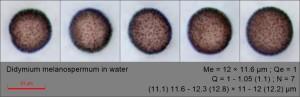 Didymium melanospermum in water157.pixi