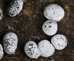 Didymium squamulosum