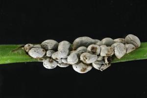 Diderma alpinum