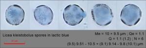 Licea kleistobolus spores in lactic blue