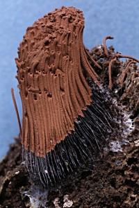 Stemonitis axifera