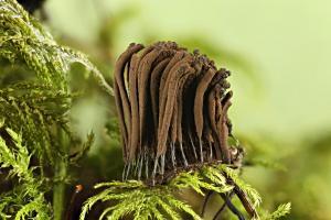 Stemonitis fusca on moss 1000
