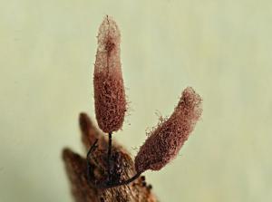 Stemonitopsis hyperopta