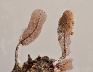 Stemonitopsis typhina capillitium