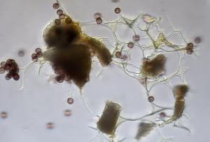 craterium aureonucleatum capx400