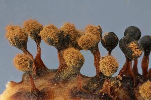 metatrichia floriformis (Scotland)